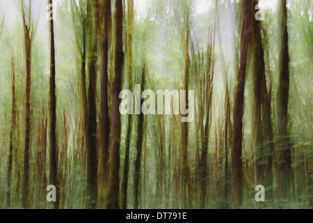 Lush forest of moss covered Big leaf maple trees (Acer macrophyllum), blurred motion, Dosewallips River, Olympic - Stock Photo