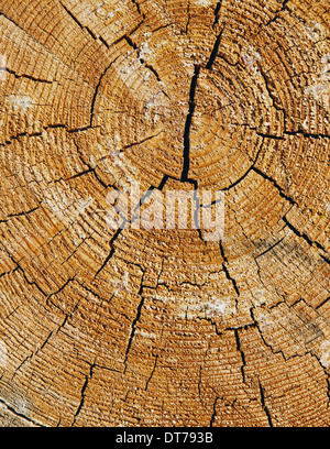 Close up of cross section from cut Ponderosa Pine tree, tree rings visible, near Blewett Pass - Stock Photo