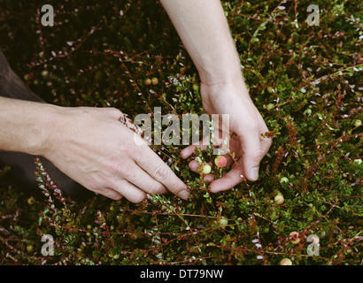 A cranberry farm in Massachusetts. Crops in the fields. A young man working on the land, harvesting the crop. - Stock Photo