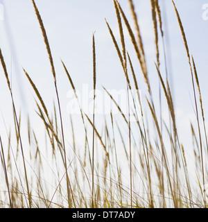 A close up of sea grasses or dune grasses on the Long Beach Peninsula Washington USA Long Beach Peninsula Washington - Stock Photo