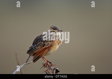 Rufous-naped Lark (Mirafra africana) perched on a twig - Stock Photo