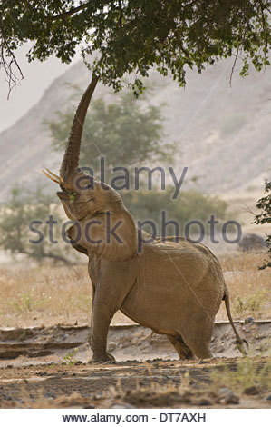 A desert elephant Loxodonta africana reaching for browse in the tree branches Huab River Torra Conservancy Damaraland - Stock Photo