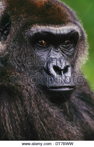 Lowland gorilla Gorilla gorilla Native to Congo (DRC) Congo - Stock Photo