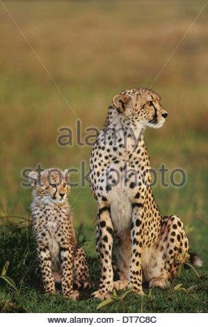 Cheetah mother and cub Acinonyx jubatus Masai Mara Reserve Kenya Masai Mara Reserve Kenya - Stock Photo