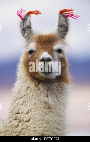 Llama Bolivia Bolivia - Stock Photo