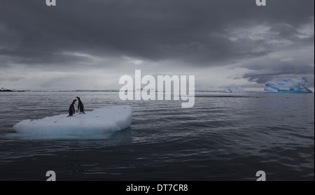 Gentoo penguins on an iceberg Antarctica - Stock Photo