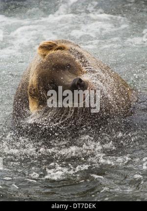 A brown bear shakes off excess water after fishing in Katmai National Park Katmai National Park Alaska USA - Stock Photo