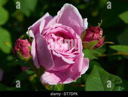 Rose at Sheffield Botanical Gardens - Sheffield, England, UK - Stock Photo