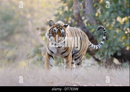Bengal tiger (Panthera tigris tigris) walking in dry forest, looking at camera, Ranthambhore national park, Rajastan, - Stock Photo