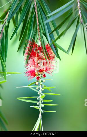 Red bottle-brush tree (Callistemon) flower - Stock Photo