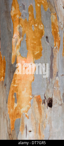 EUCALYPTUS [MYRTACEAE ] THE COLOURS OF THE TREE BARK - Stock Photo