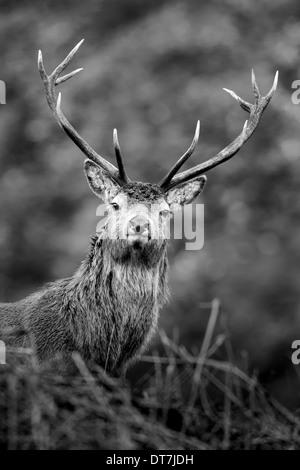 Red Deer stag (Cervus elaphus) peers over a grassy hill along Glen Etive, Highlands, Scotland - Stock Photo