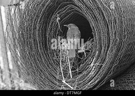 Blackbird at nest in roll of wire , Doldowlod Wales 1937. Taken by Eric Hosking. - Stock Photo