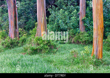 Peeling bark reveals the Rainbow Eucalyptus trees along the road to Hana on Hawaii's island of Maui. - Stock Photo
