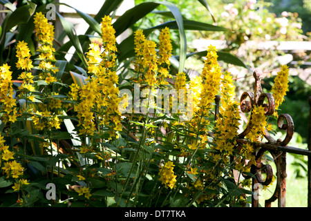 Lysimachia punctata (yellow loosestrife) - Stock Photo