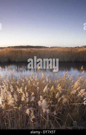 Common Reed (Phragmites australis) seedheads in reedbed habitat blowing in strong wind on site of former opencast - Stock Photo