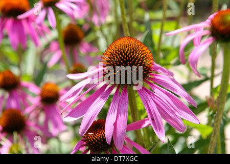 Echinacea purpurea / purple cone flower - Stock Photo