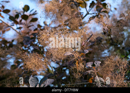 Cotinus coggygria 'Royal Purple'  / Smoke bush, covered in delicate smoke like flowers - Stock Photo