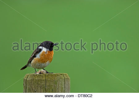 European Stonechat (Saxicola rubicola) male perched on fence pole in meadow - Stock Photo