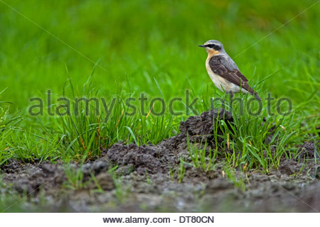 Northern Wheatear (Oenanthe oenanthe) male perched on lump of earth in meadow - Stock Photo