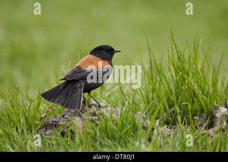 Austral Negrito (Lessonia rufa) adult male, standing on ground, Torres del Paine N.P., Southern Patagonia, Chile, - Stock Photo