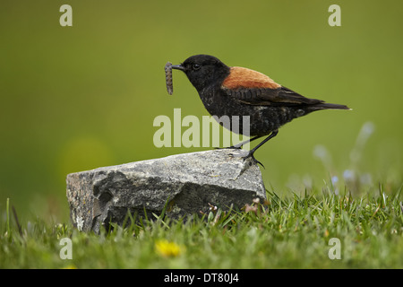 Austral Negrito (Lessonia rufa) adult male moulting plumage with grub in beak Torres del Paine N.P. Southern Patagonia - Stock Photo