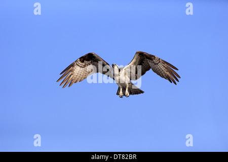 Osprey (Pandion haliaetus carolinensis) adult, in flight, Sanibel Island, Florida, U.S.A., March - Stock Photo