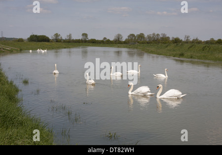Mute Swan (Cygnus olor) adults group swimming on river River Adur Bramber and Upper Beeding South Downs West Sussex - Stock Photo