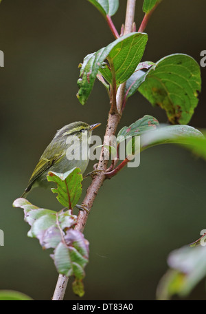 White-tailed Leaf-warbler (Phylloscopus davisoni davisoni) adult perched on twig Doi Inthanon N.P. Chiang Mai Province - Stock Photo