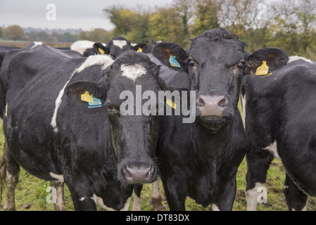 Domestic Cattle A2 Holstein cows (A2 milk is becoming popular as an alternative to milk with A1 beta casein to which - Stock Photo