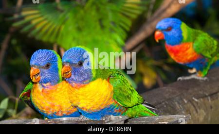 common native parrot the rainbow lorikeet, often kept as pets, noisy and cheeky - Stock Photo