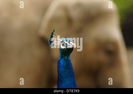 Portrait of peacock with Indian elephant - Stock Photo