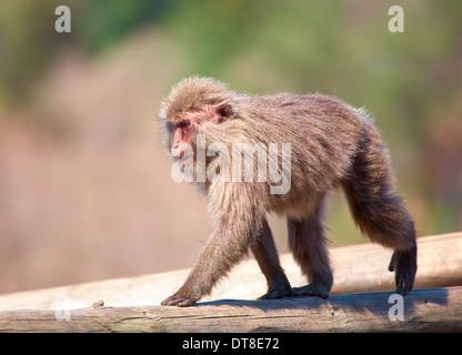 Japanese macaque Macaca fuscata on log - Stock Photo