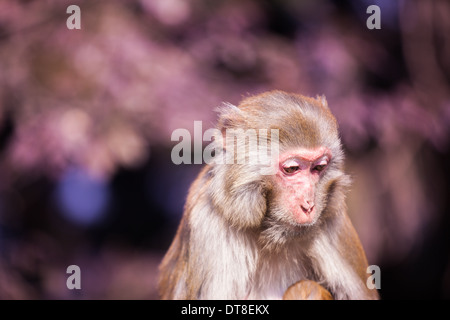 a sad monkey at Zhang'Jia'Jie, Hu'nan province, China - Stock Photo