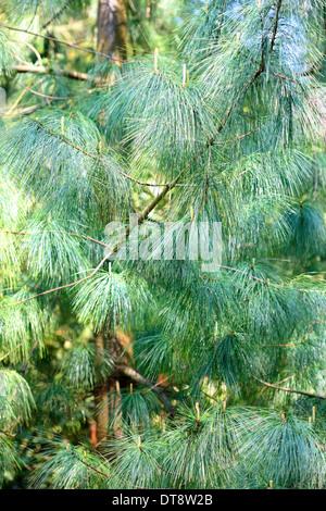 pinus wallichiania a stunning blue hue pine tree  Jane Ann Butler Photography  JABP1145 - Stock Photo