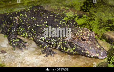 West African Dwarf Crocodile (osteolaemus tetraspis) - Stock Photo