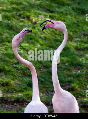 Pair of Greater Flamingos (phoenicopterus roseus) in courting ritual - Stock Photo