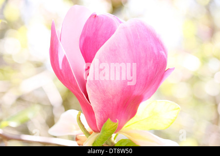wonderful pink magnolia bloom, a Spring favourite - beauty in nature  Jane Ann Butler Photography  JABP1139 - Stock Photo