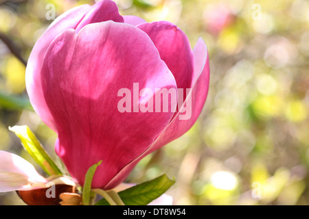 wonderful pink magnolia bloom, a Spring favourite - beauty in nature  Jane Ann Butler Photography  JABP1140 - Stock Photo