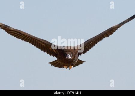 Cinereous Vulture (Aegypius monachus) or Eurasian Black Vulture in flight near Bikaner, Rajasthan, India - Stock Photo