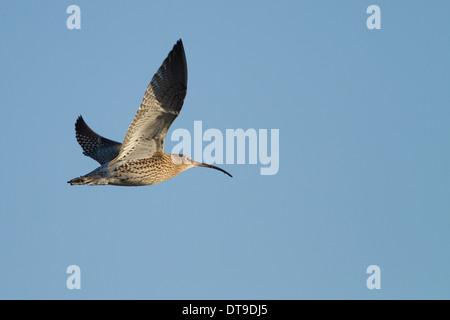 Eurasian Curlew (Numenius arquata), adult, in flight, Slimbridge, Gloucestershire, England, December, - Stock Photo
