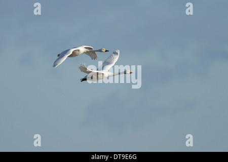 Bewick's Swans (Cygnus columbianus bewickii), adult pair in flight, Slimbridge, Gloucestershire, England, January - Stock Photo