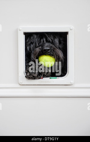 A black dog uses a cat flap to get into the house - Stock Photo