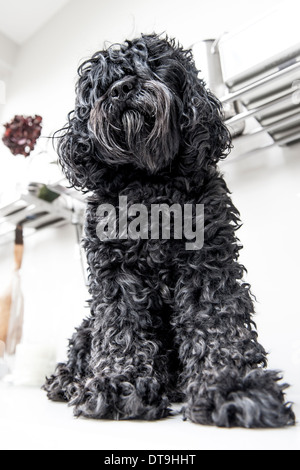 A black dog look inquisitively into the camera - Stock Photo