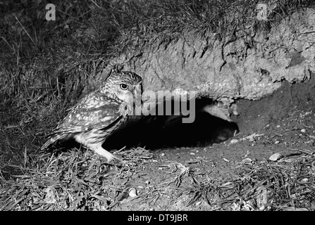 Little Owl - Doldowlod Wales. Taken by Eric Hosking in 1938 - Stock Photo