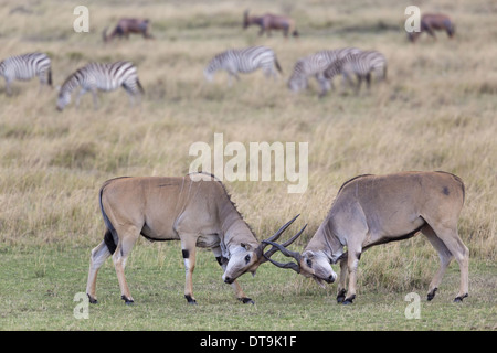 Common Eland (Taurotragus oryx) two immature males fighting in savannah with Common Zebra (Equus quagga) and Topi - Stock Photo