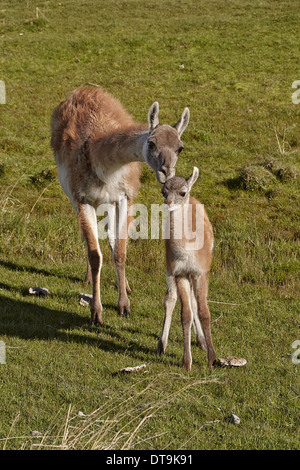 Guanaco (Lama guanicoe) adult female with calf, standing together, Torres del Paine N.P., Southern Patagonia, Chile, - Stock Photo
