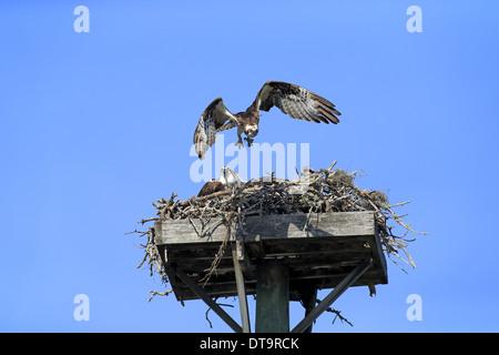 Osprey (Pandion haliaetus carolinensis) adult pair with chicks in flight and sitting at nest on manmade platform - Stock Photo