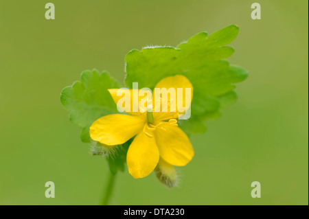 Greater celandine (Chelidonium majus), flower, Provence, Southern France, France - Stock Photo