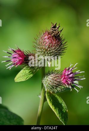 Lesser Burdock flowers - Arctium minus - Stock Photo